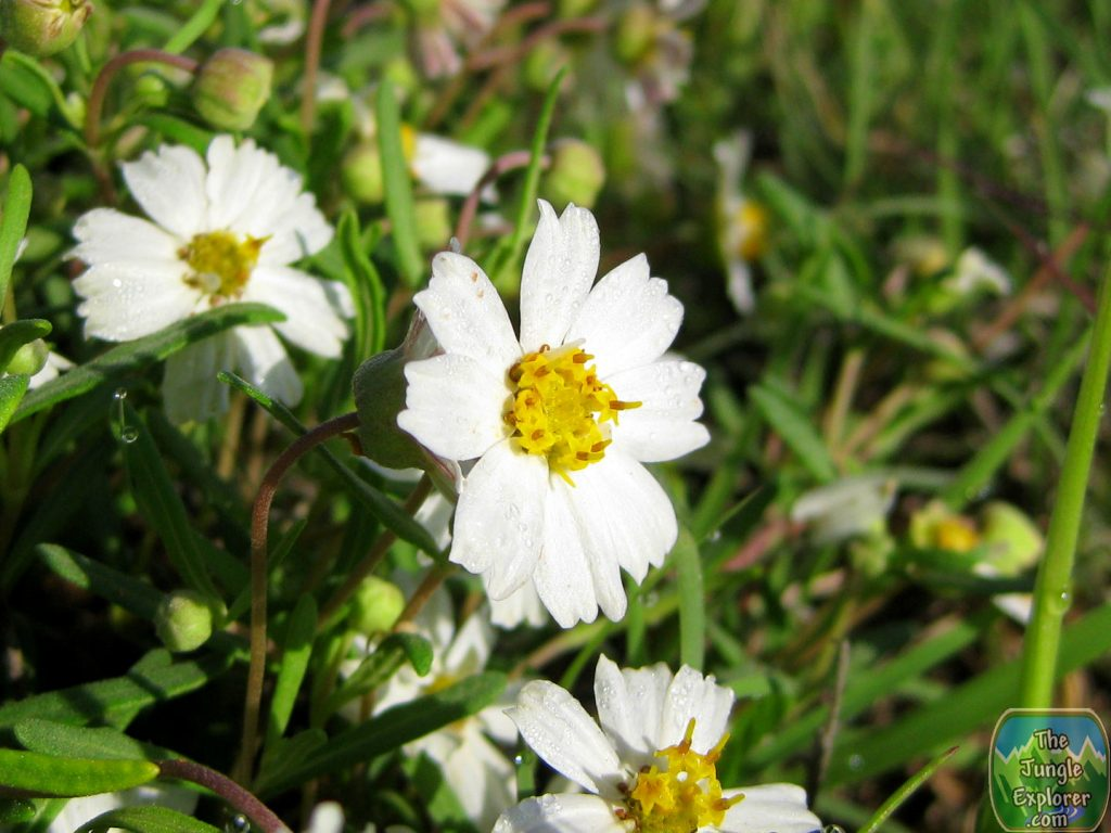 Picture of Blackfoot Daisy