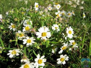 Pictures of Blackfoot Daisy