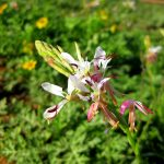 Butterfly Gaura Flower