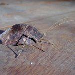 Dead-leaf-Katydid (Orophus sp)