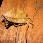 Dead leaf Katydid