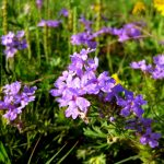Purple Prairie Verbena
