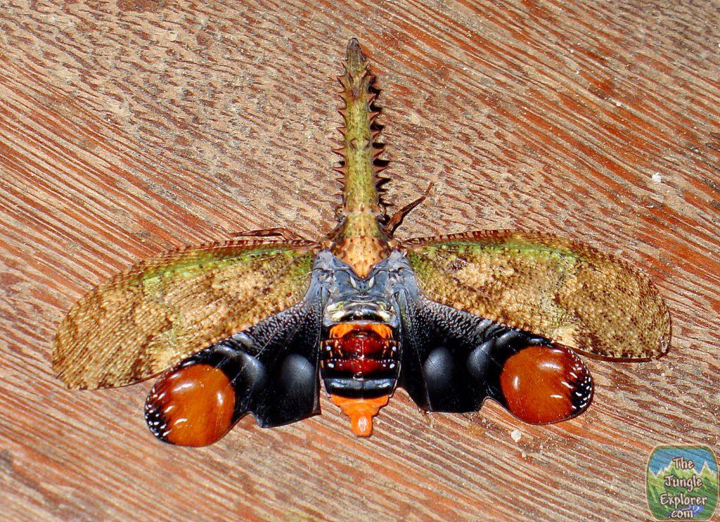 Saw-Nosed Lantern fly (Cathedra serrata)