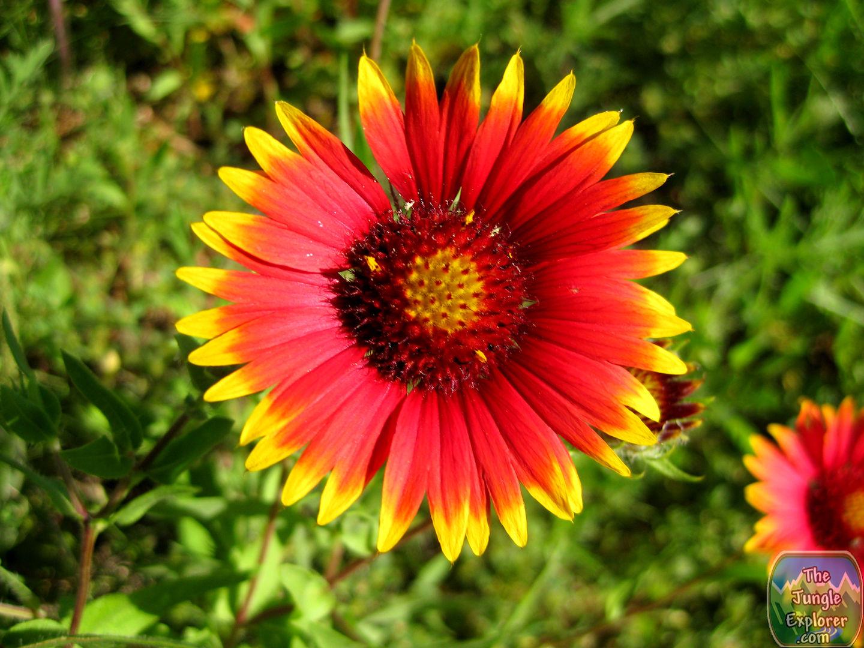 Texas Indian Blanket Flower Gaillardia Pulchella