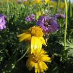 Yellow Sneezeweed