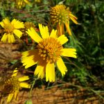 Yellow Sneezeweed Flower