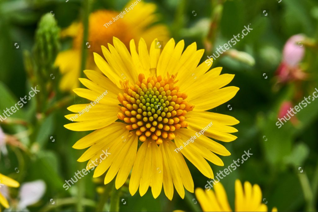 yellow-sneezweed-helenium-amarum