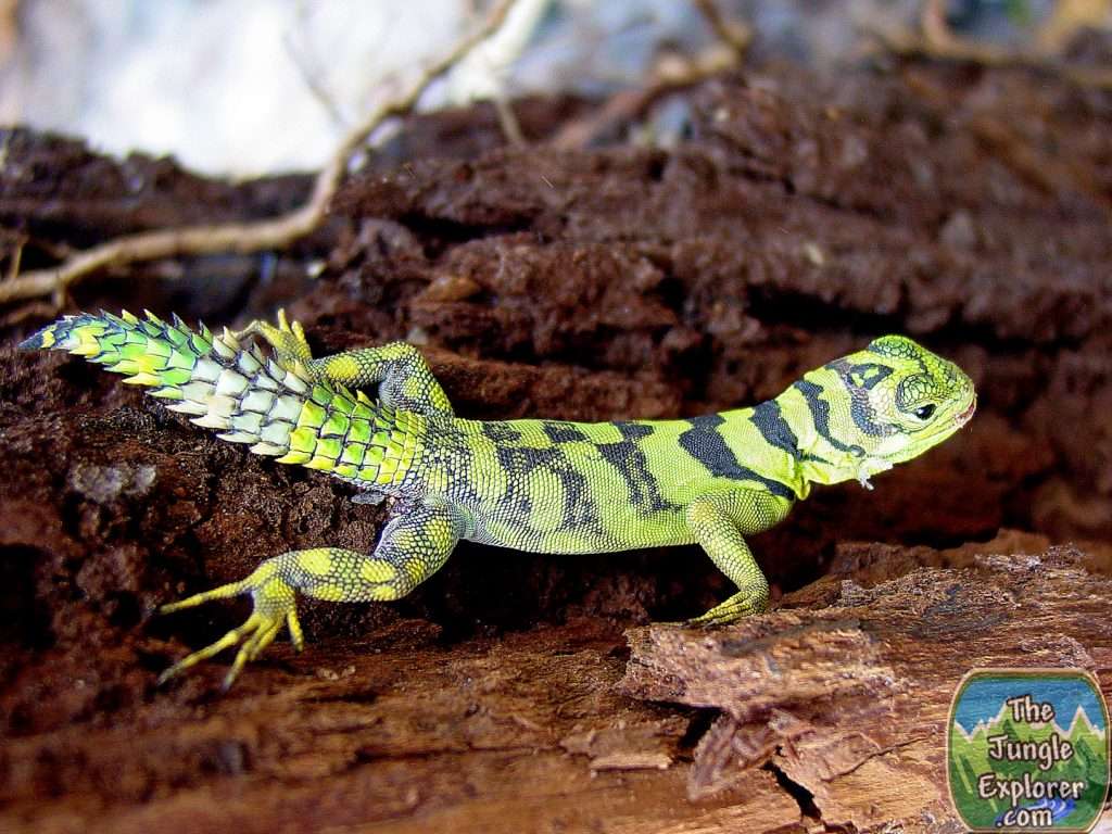 Green Thornytail Iguana (Uracentron azureum)