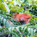 Mature Red Headed Iguana