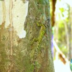 Blue Lipped Tree-lizard (Plica-umbra-ochrocollaris)