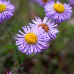 Aspen Daisy (Erigeron speciosus)