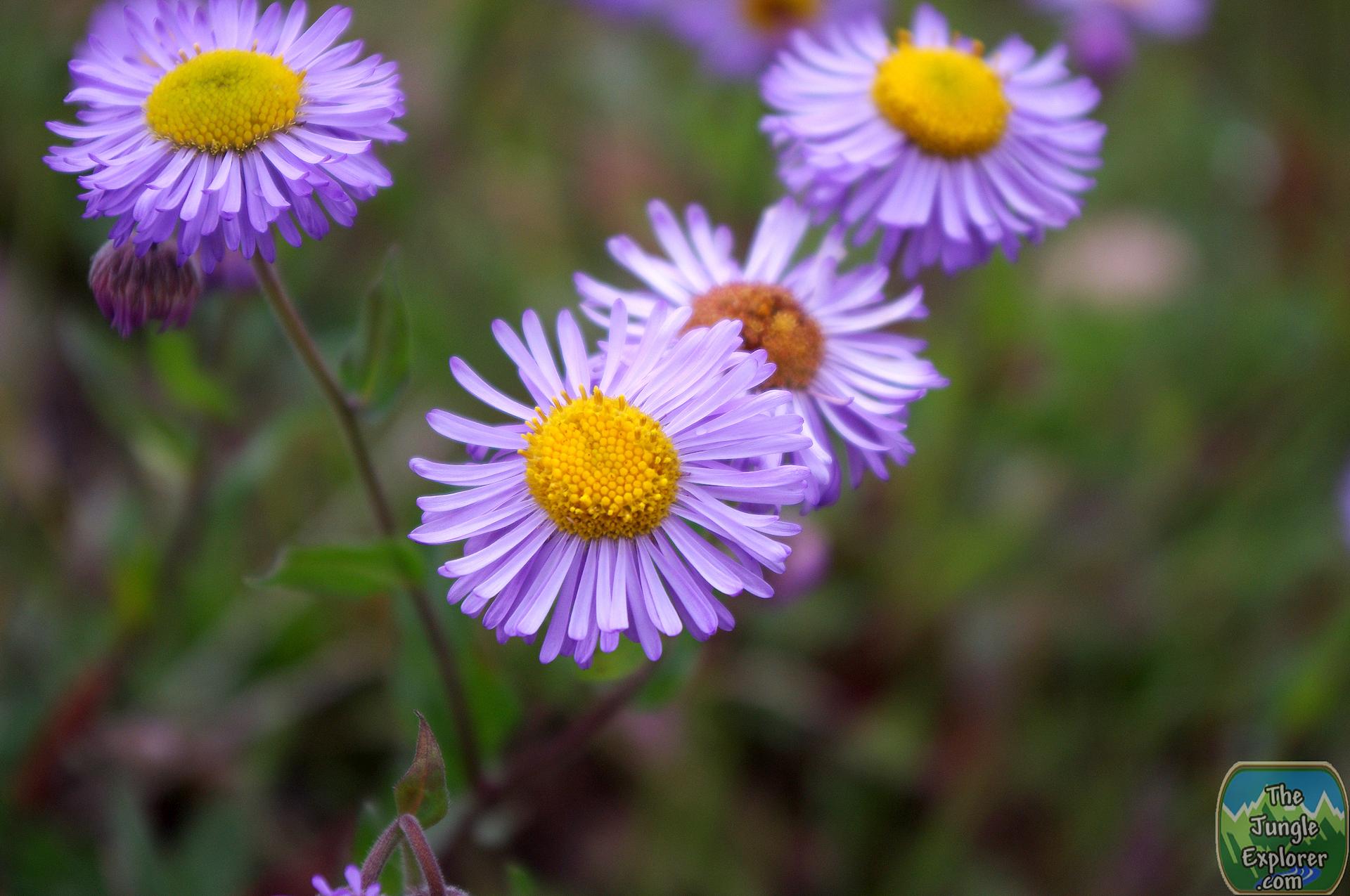 Aspen Fleabane Daisy Erigeron Speciosus Native Wildlower