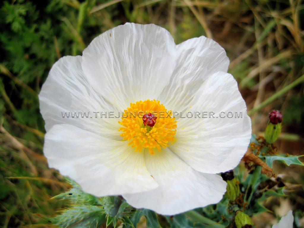 Texas Bluestem Pricklypoppy (Argemone albiflora ssp. texana)