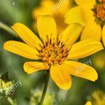 engelmanns-daisy-flower