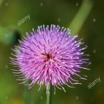 Silybum marianum (Milk Thistle)