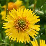 yellow-sneezweed-helenium-amarum