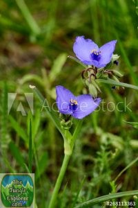 Two Texas Spiderwort flowers