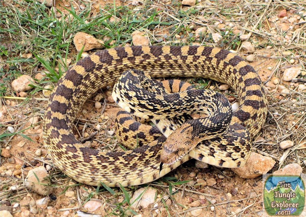 Bullsnake (Pituophis catinefer sayi)
