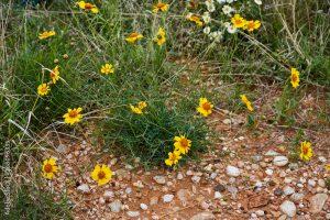 Stiff Greenthread (Thelesperma filifolium)