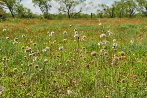 Pincushion Daisy ( Gaillardia suavis ) Wildflower