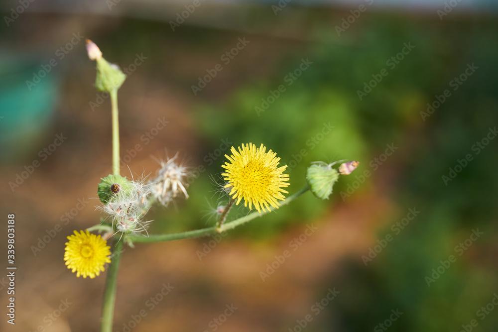 Spiny Sowthistle (Sonchus asper)
