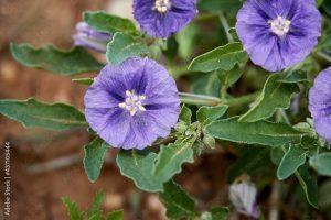 Purple groundcherry (Quincula lobata)