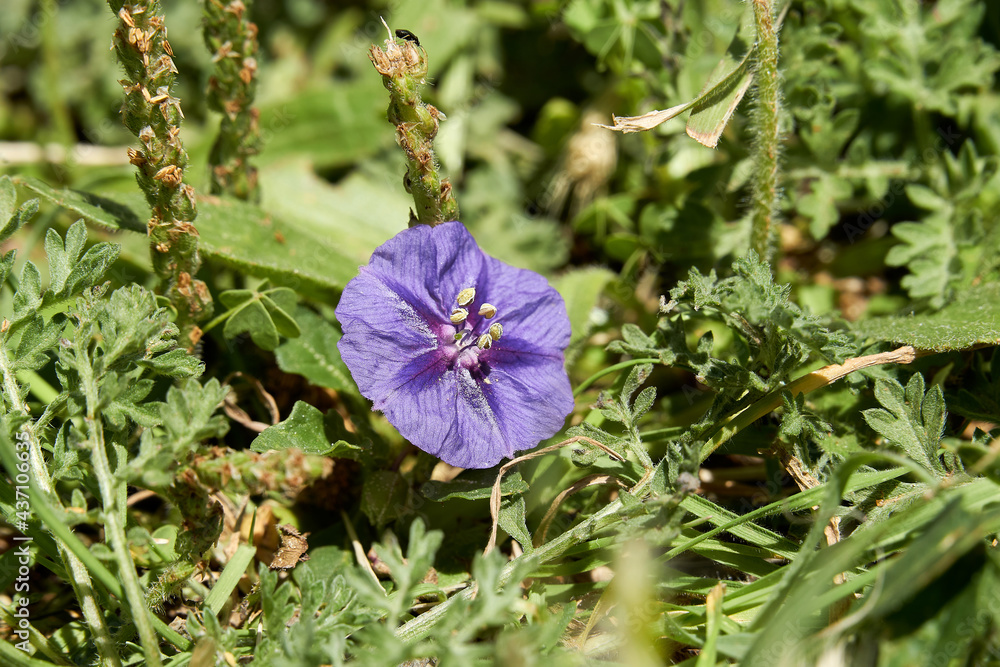 Texas Purple Groundcherry