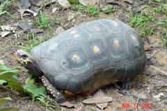 Amazon Basin Yellow Footed Tortoises