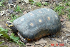 Amazon Basin Yellow Footed Tortoises