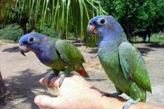 Amazon Blue-headed parrot