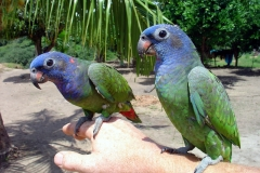 Amazon Blue-headed parrot