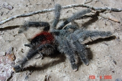 Amazon  Red Rump Tarantula
