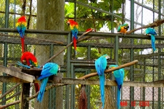 Blue and Gold & Scarlet Macaws