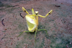 Brazilian Yellow Preying Mantis