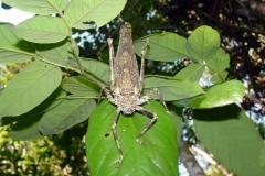 Giant Spiny Amazon Katydid