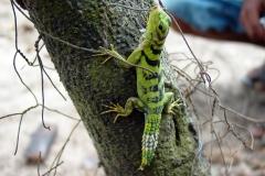 Green Thornytail Iguana
