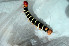 Tetrio Sphinx Caterpillar
