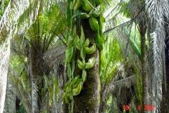 Tropical Climbing Cactus