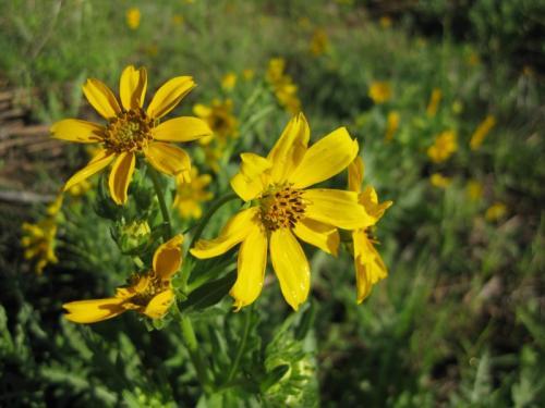 Texas Engelmann Daisy (Engelmannia peristenia )