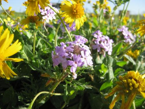 Purple Prairie Verbena