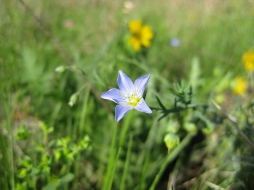 Texas Blue Flax Flower