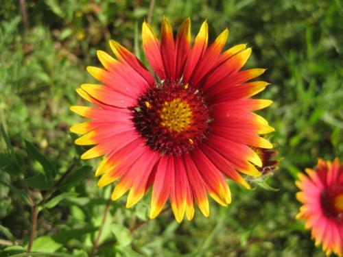 Texas Indian Blanket Flower (Gaillardia pulchella)