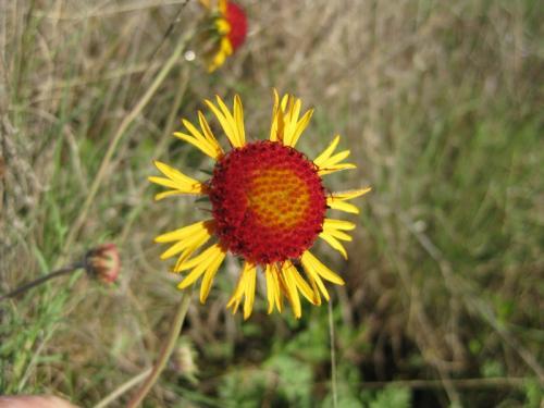 Texas Pincushion Daisy