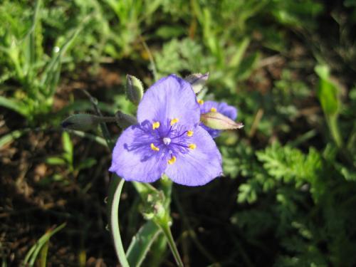 Texas Spiderwort Flower (Tradescantia humilis Rose )