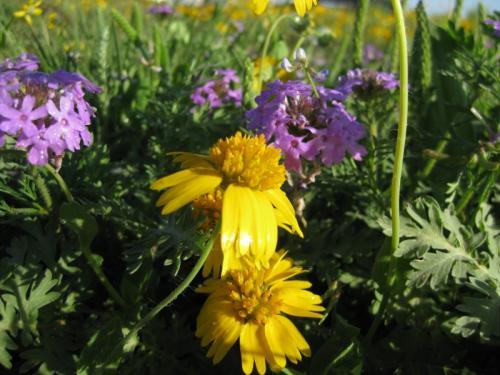 Yellow Sneezeweed (Helenium amarum)